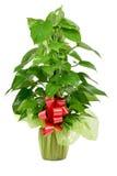 Gift-wrapped Epipremnum aureum plant royalty free stock image