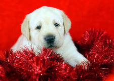 Gift yellow labrador puppy with New Year (Christmas) toys Stock Photo
