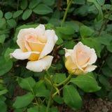 Gifta rosor royaltyfri foto