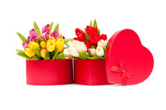 Giftbox and tulips isolated Stock Photos