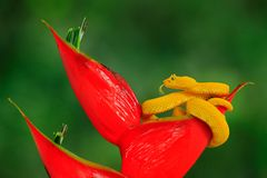 Giftgefahrenvipernschlange von Costa Rica Gelbe Wimper-Palme Pitviper, Bothriechis-schlegeli, auf roter wilder Blume Szene der wi stockfotos