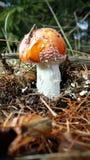 Giftig champinjon för Amanita i natur Royaltyfria Foton