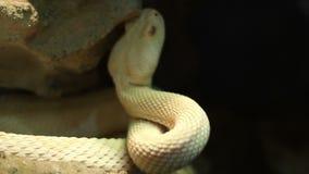Giftig Pit Viper stock videobeelden