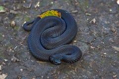 Giftig svart huggorm Royaltyfri Foto