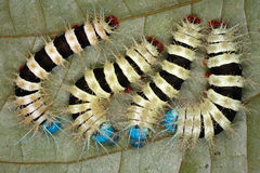 Giftiga caterpillars i djunglerna av Ecuador Arkivbild