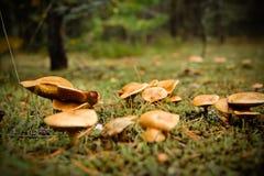 Giftiga champinjoner bland mossan i höstskog Royaltyfria Bilder