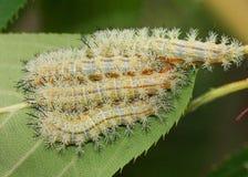 Giftiga larver för Io-mal arkivbild