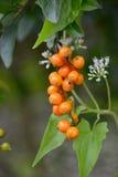 Giftiga växter Arkivfoto