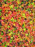 giftige aardbei Stock Foto