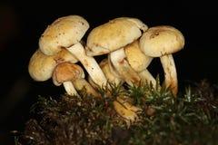 Giftige Gegroepeerde woodlover paddestoelen Stock Foto's