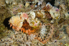 Giftige getarnte Skorpionsfische Stockfotos