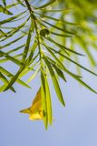 Giftige grüne Früchte des Oleanders lizenzfreies stockfoto
