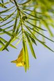 Giftige groene vruchten van oleander royalty-vrije stock foto