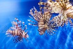 Giftige lionfish in blauwe wateroverzees Stock Afbeelding