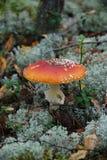 Giftige paddestoel Stock Afbeeldingen
