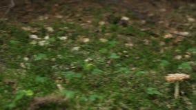 Giftige Paddestoel stock footage