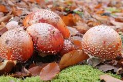 Giftige paddestoel in het bos Royalty-vrije Stock Foto