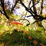 Giftige paddestoel op bosvloer Stock Fotografie