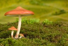 Giftige paddestoelachtergrond voor fairytale Stock Foto's