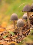 Giftige paddestoelen. Stock Afbeeldingen