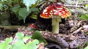 Giftige paddestoelen in het hout onder de bladeren stock videobeelden
