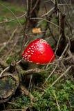 Giftige paddestoelen of Rode Amaniet in het hout Royalty-vrije Stock Foto