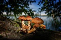 Giftige Pilze Stockbilder