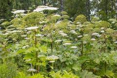 giftige reuzehogweed stock foto's