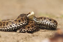 Giftige Schlange bereit anzugreifen Stockbilder