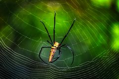 Giftige spin in de wildernis - Pala-de Waterval Hua Hin Thailand van U stock afbeelding