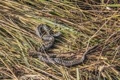 Giftige Vipernschlange im trockenen Gras Europa, Herbst Lizenzfreie Stockfotos