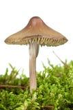 Giftiger Blätterpilz (Mycena inclinata) Lizenzfreie Stockbilder