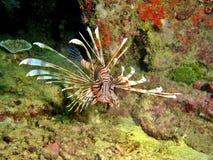 Giftiger Lionfish Lizenzfreies Stockfoto