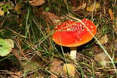 Giftiger Pilz stockfotografie