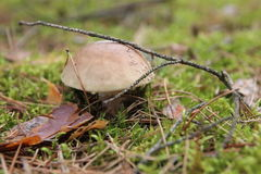 Giftiger Pilz Stockbild