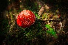 Giftiges Rot mit einer Kappe bedeckter Pilz Lizenzfreie Stockbilder
