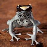 Giftiges Tier des Giftpfeil-Frosches Stockbilder