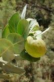 Giftigt träd Apple av Sodom royaltyfri fotografi