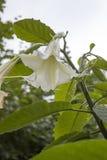 Giftlig blomma Arkivbilder