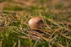 Giftlig champinjon för Amanita som växer på jordningen arkivfoto