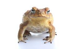 Giftlig rottingpadda Fotografering för Bildbyråer