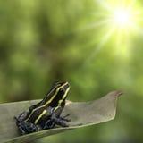 Giftpfeil oder Pfeilfrosch Ranitomeya-Nachahmer lizenzfreies stockbild