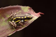 Giftpfeilfrosch Ranitomeya-Nachahmer lizenzfreie stockbilder