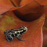 Giftpfeilfrosch Ranitomeya-Nachahmer lizenzfreies stockfoto