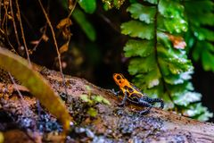 Giftpilgroda, orange blått giftigt djur från amasonregnskogen av Peru arkivfoton