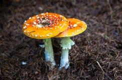 Giftpilz im Wald Lizenzfreie Stockfotos