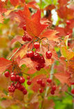 Gifts of autumn.Viburnum Royalty Free Stock Photo
