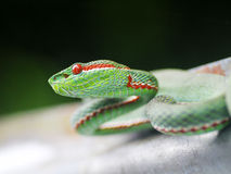Giftschlange mit Feuer-roten Augen Stockbild