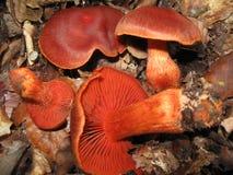 Giftsvamp i skogen royaltyfri bild