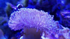 Giftsvamp piskar korall i saltvattens- akvarium, purpurfärgad koppchampinjon eller paraplykorall